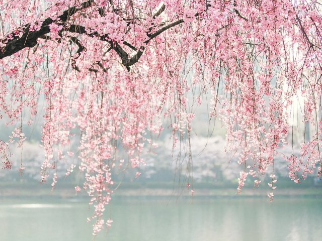 Tour Hanami. Speciale fioritura