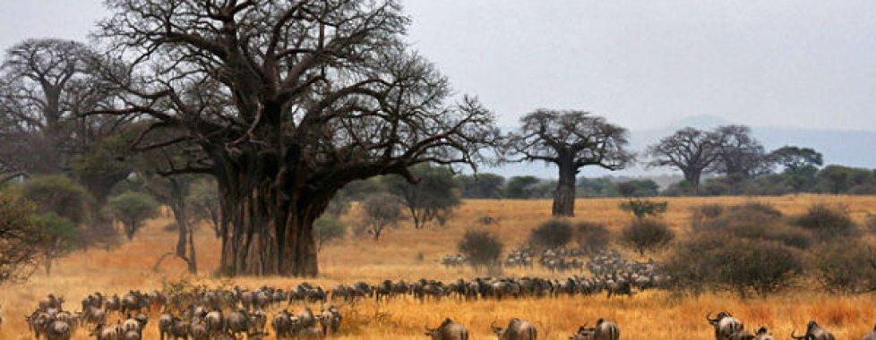 Tarangire e baobab