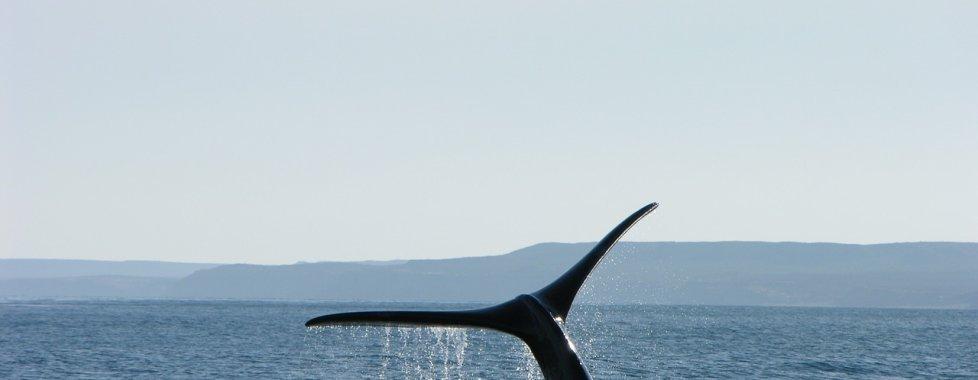 Balene argentina