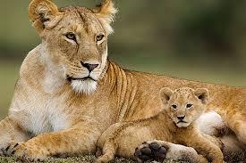 leonessa con cuccioli