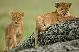 cucciolata nel Serengheti